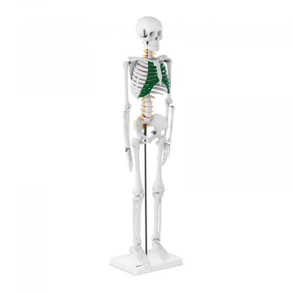 Mini model kostry človeka - 85 cm