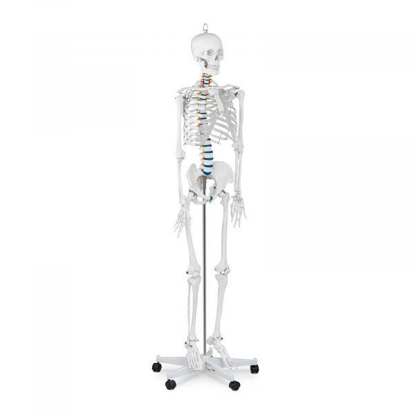 Model kostry človeka v životnej veľkosti - 176 cm
