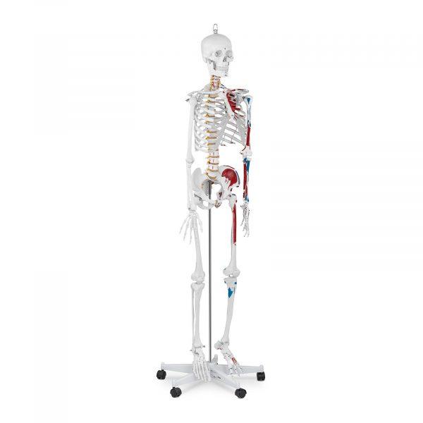 Model kostry človeka v životnej veľkosti - 180 cm - s farebným značením