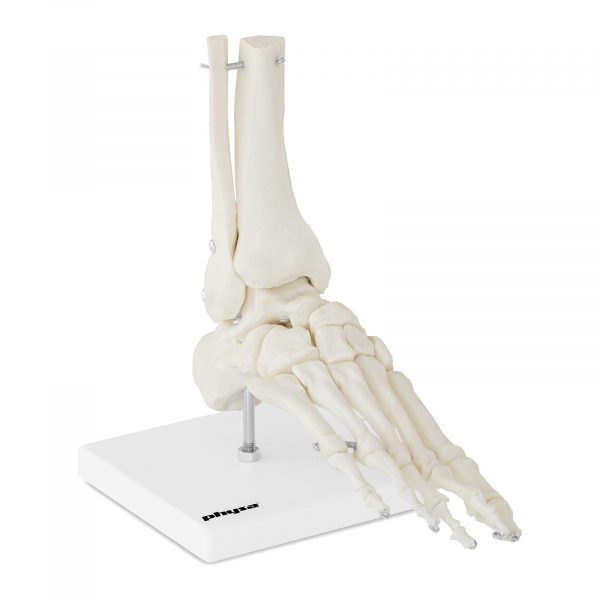 Model kostry chodidla a členku