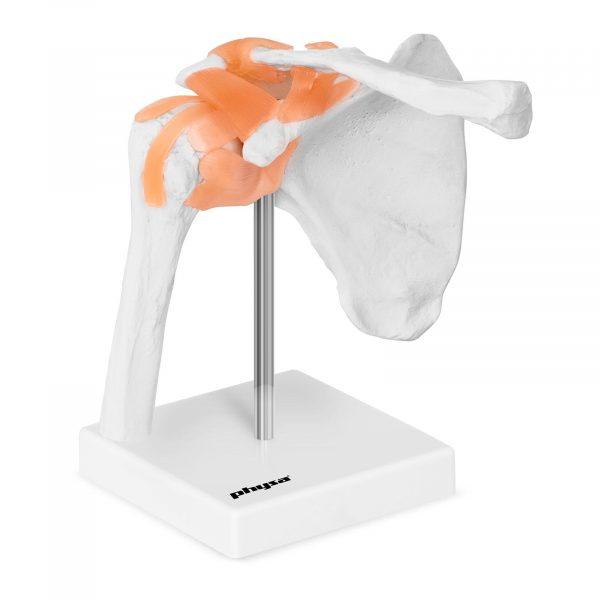 Trojrozmerný model ramenného kĺbu